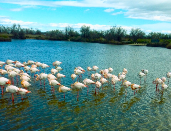 flamingoes standing in shallow water